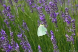 Among the vines are lavender fields and ther flying visitors
