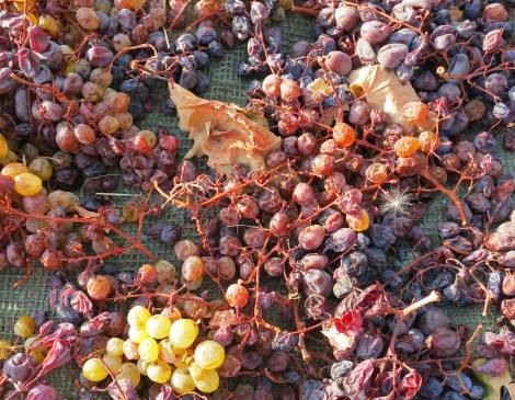 Commandaria sun dried grapes of Xynisteri (white) & Mavro (black)